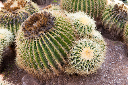 cactus species: Echinocactus grusonii, popularly known as the golden barrel cactus, golden ball or, amusingly, mother-in-laws cushion, is a well known species of cactus, and is endemic to east-central Mexico.