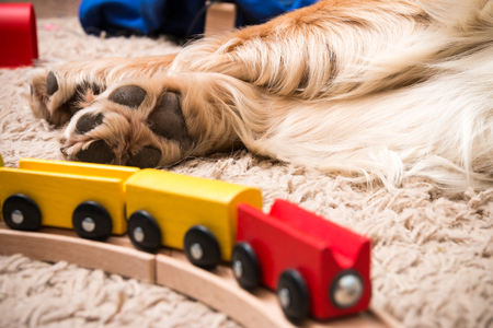 Closeup of the paws of a Golden Retriever near a wooden train for children Stock Photo