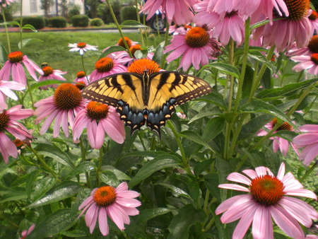 coneflowers: female tiger swallowtail on coneflowers