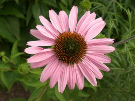 echinacea purpurea: Echinacea purpurea coneflower Stock Photo