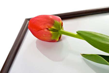 Tulip and photo frame isolated over white background photo