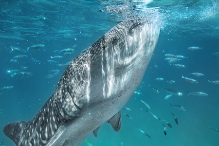 Swimming with whale shark in tropical sea