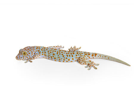 tokay gecko: Gecko tokay lizard isolated on white background Stock Photo