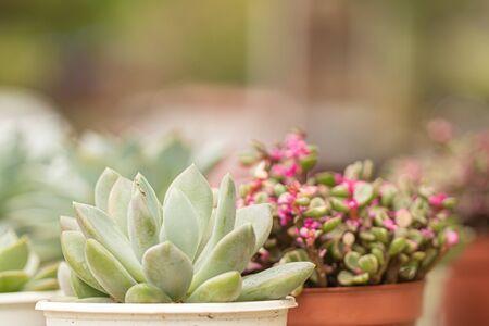 Succulent plant in flower pot 版權商用圖片 - 147418424