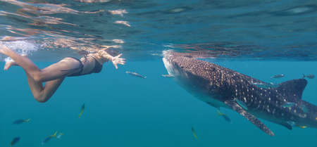 Young woman swimming with giant whale shark next to Oslob city in Philippines 版權商用圖片