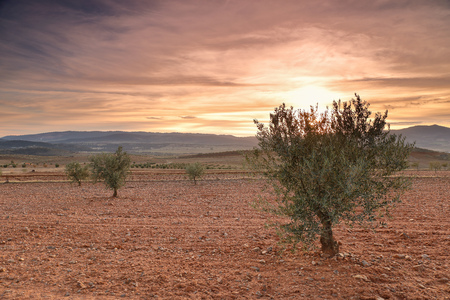 Sunset in an olive field Stock Photo