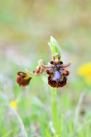 Ophrys speculum, the orchid bee Banco de Imagens