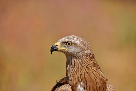 Portrait of black kite (Milvus migrans)