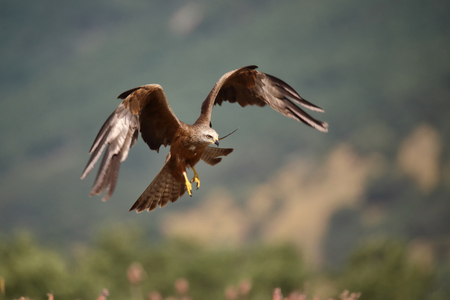 Black milan in flight landing Stock Photo