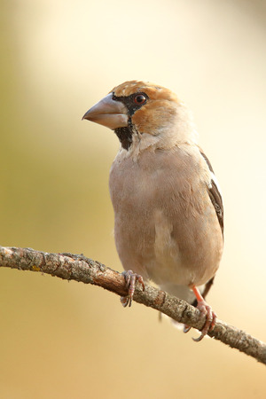 Hawfinch (Coccothraustes coccothraustes) perched on a branch Stock Photo