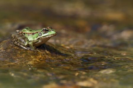 Perez-Frosch (Pelophylax perezi) auf einem Stein in einem Fluss