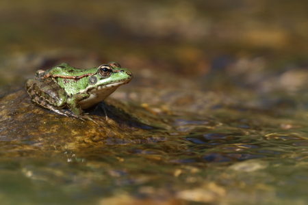 Perez's frog (Pelophylax perezi) on a stone in a river