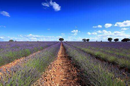 Flowered lavender fields in Brihuega, Guadalajara Spain