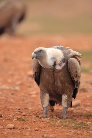 Griffon Vulture (Gyps fulvus) released