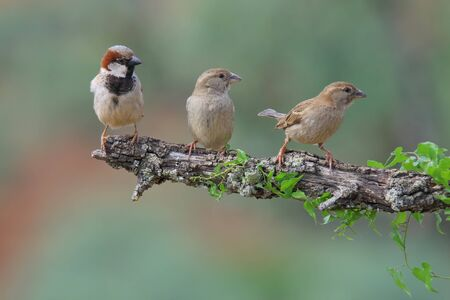 Three sparrows perched on a branch with ivy and looking to the right