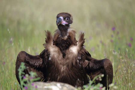 Cinereous vulture (Aegypius monachus) perched on grassy ground facing the camera and with semi-open wings Imagens