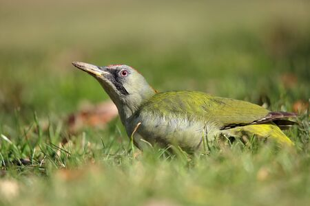 European green woodpecker (Picus viridis) perched on the grass Stok Fotoğraf