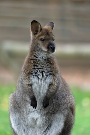 Red-necked wallaby or Bennett's wallaby (Macropus rufogriseus) standing