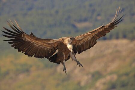 Griffon vulture landing with open wings