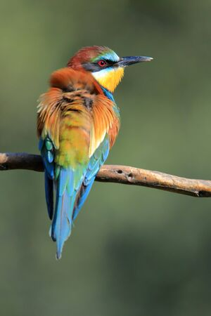 The European bee-eater (Merops apiaster) the rainbow bird perched on a branch