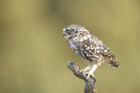 Little owl (Athene noctua) perched on a branch and looking left Imagens