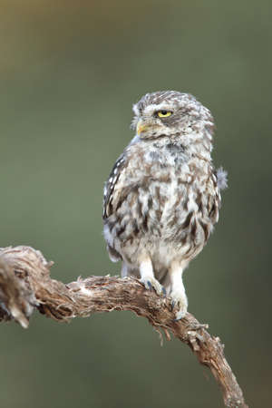 Little owl (Athene noctua) perched on a branch and looking left