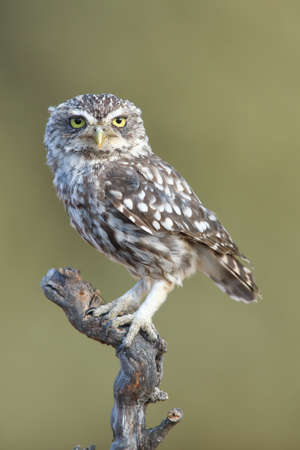 Little owl (Athene noctua) perched on a branch, sideways and looking straight ahead