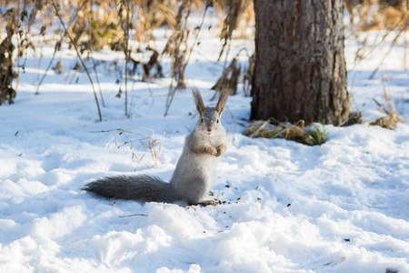 funny squirrel in the winter forest photo