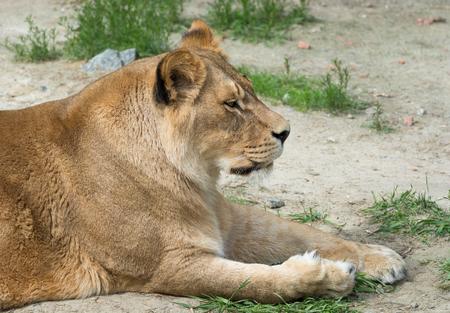 lioness: Nice Lioness Stock Photo