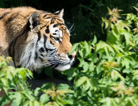 tiger hunting: tiger hunting in the green bushes