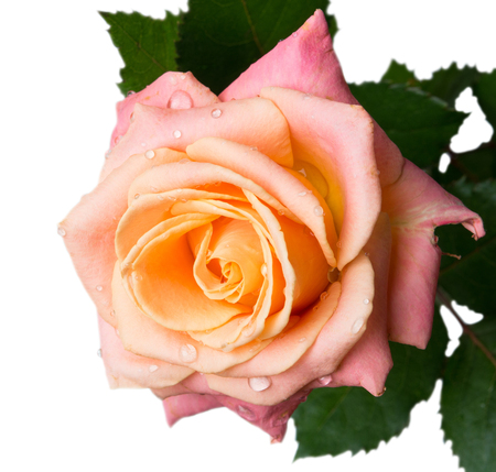 gentle: rose gentle colors