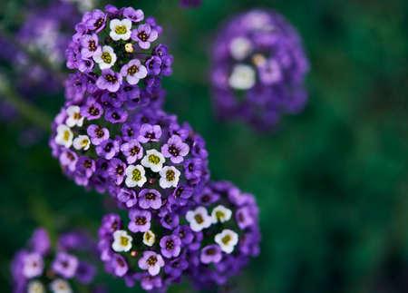 Beautiful little blue flowers Stock Photo