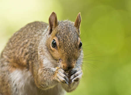 Squirrel crouches and eats a nut in front of a green background Stock Photo