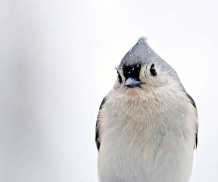 titmouse: Small bird with raindrops on face and an attitude Stock Photo