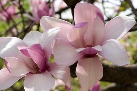 Two magnolias close-up