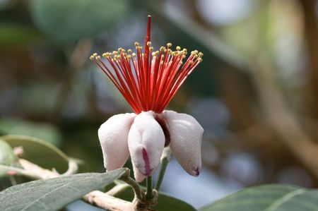 Flower feijoa closeup