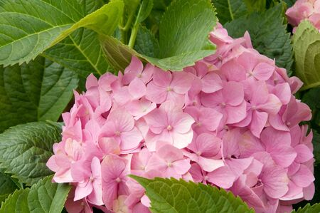 Hydrangea closeup amids green leaves Stock Photo