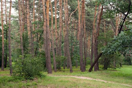 Summers day in the forest. Pine Grove. Stock Photo