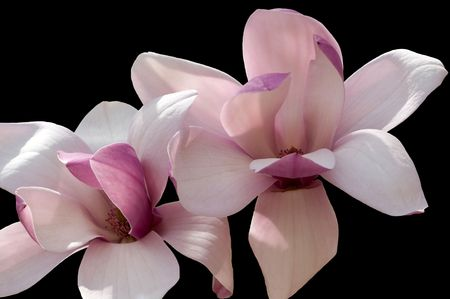 Two magnolias closeup on a black  background in isolation Stock Photo