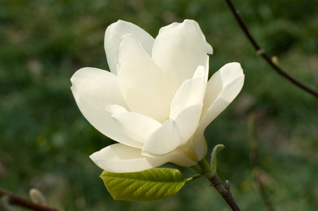 Flowers of Magnolias closeup in the spring garden photo