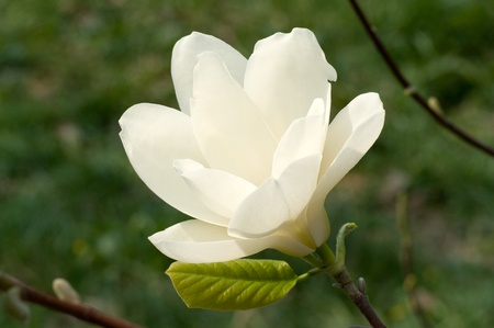 春の苑マグノリアのクローズ アップの花 写真素材