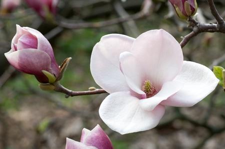 Bloemen van Magnolia'sclose-up in de de lentetuin