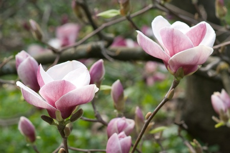 Flowers of Magnolias closeup in the spring garden