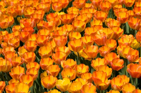 The bright yellow tulips spring sunny day Stock Photo - 9440627