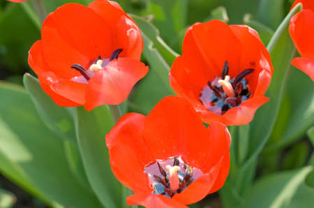 The bright red tulips spring sunny day closeup photo