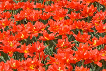 The bright red tulips spring sunny day photo