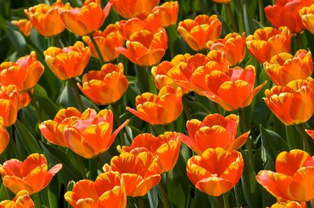 The bright yellow-red tulips spring sunny day photo