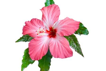 hibisco: Rosas sudaneses (Hibiscus) flores aisladas sobre fondo blanco