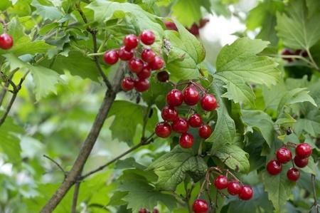 Gros plan des baies viburnum rouge sur une branche journée ensoleillée d'automne tôt. Banque d'images - 10492167