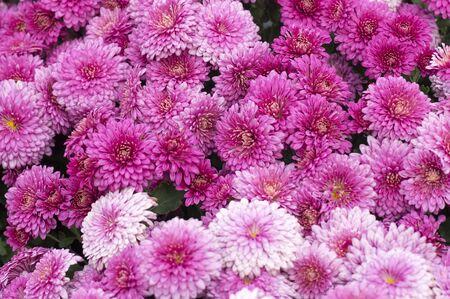 Herfst bloemen chrysant tuin close-up